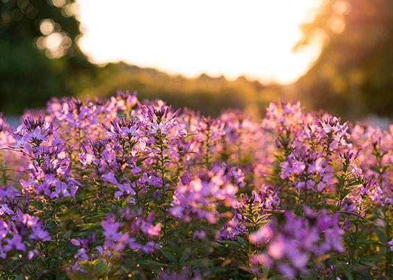 La Marchande de Violettes